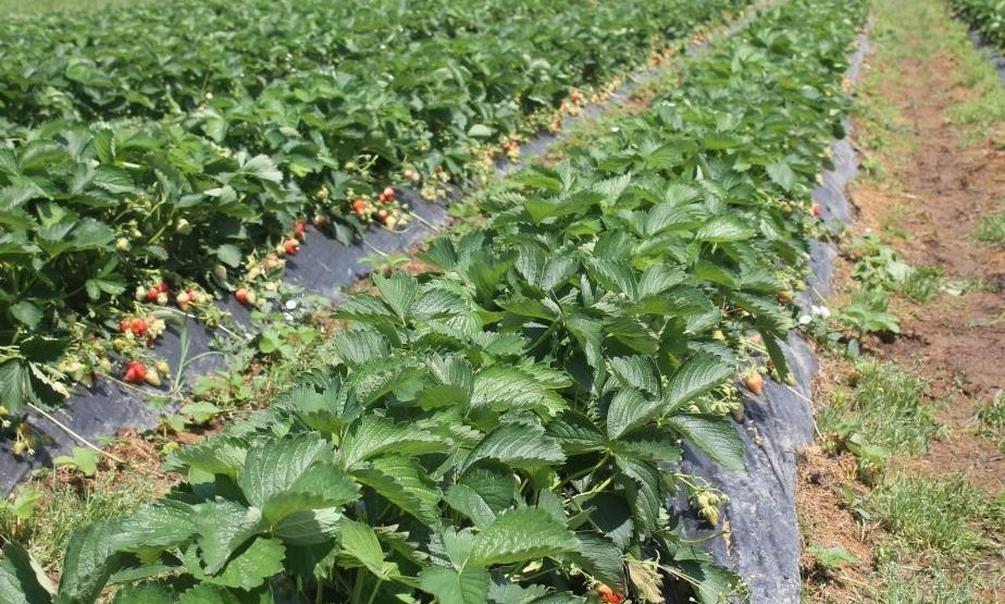 Proljetna sadnja jagode