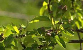 Утицај ђубрива са аминокиселинама на отпорност воћа