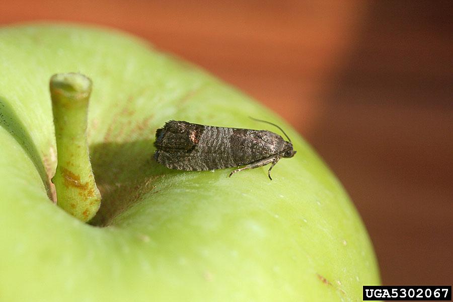 Савијач јабуке (Cydia pomonella) начин праћења и сузбијање штеточине