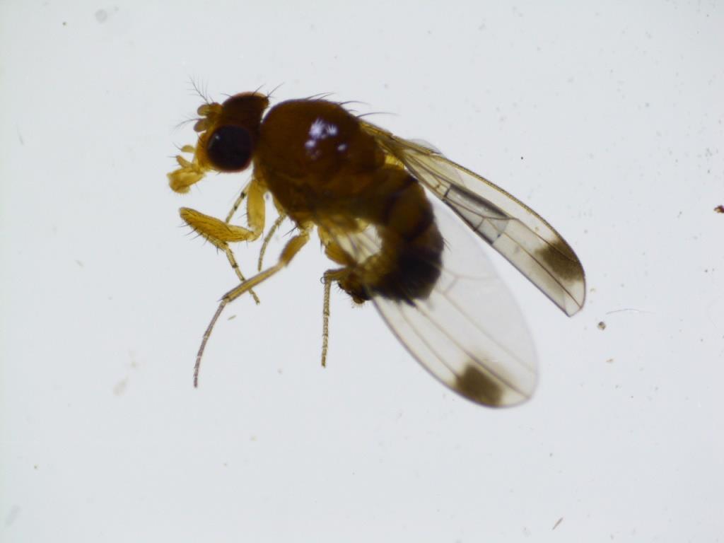 Уочена активност Азијске воћне мушице у виноградима Бањалучке регије